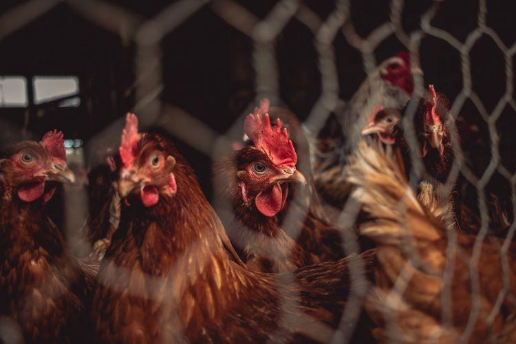 Η10Ν3 H10N3: Τι ξέρουμε για το νέο στέλεχος της γρίπης των πτηνών